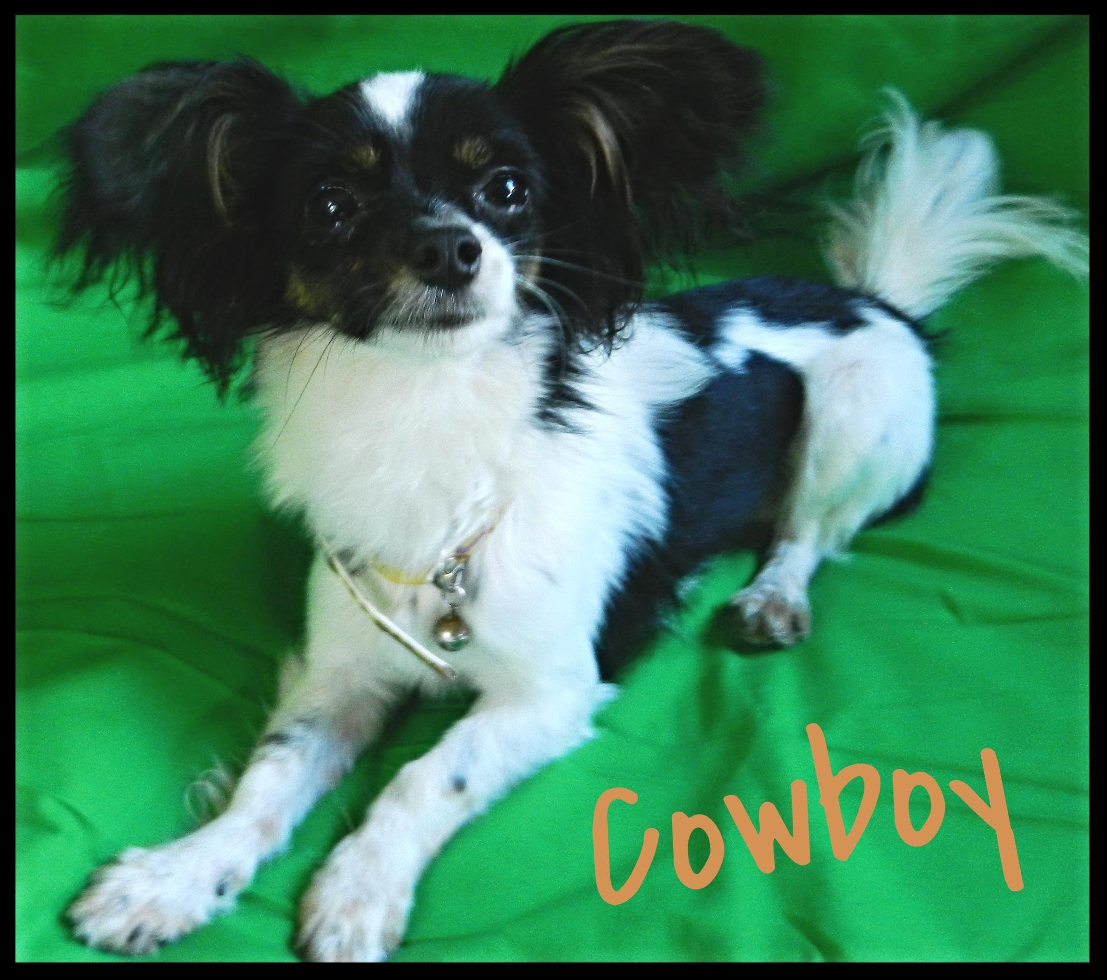 Cowboy Papillon Adoptable