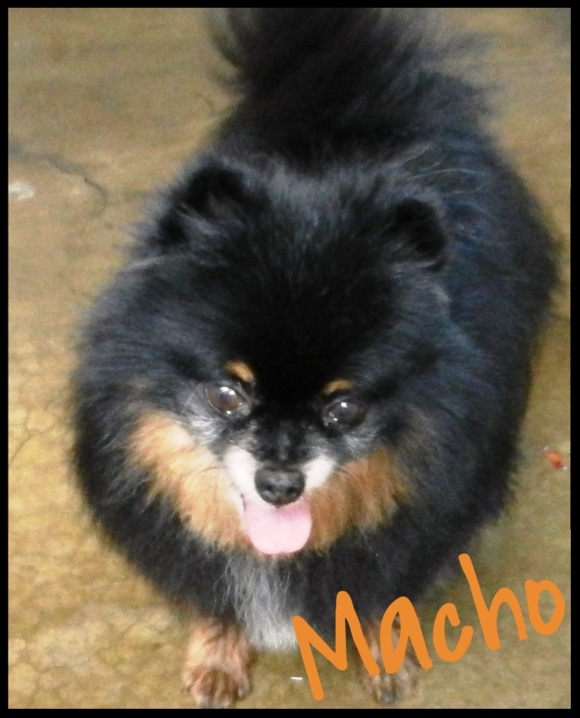 Macho Adoptable OC Pom Border