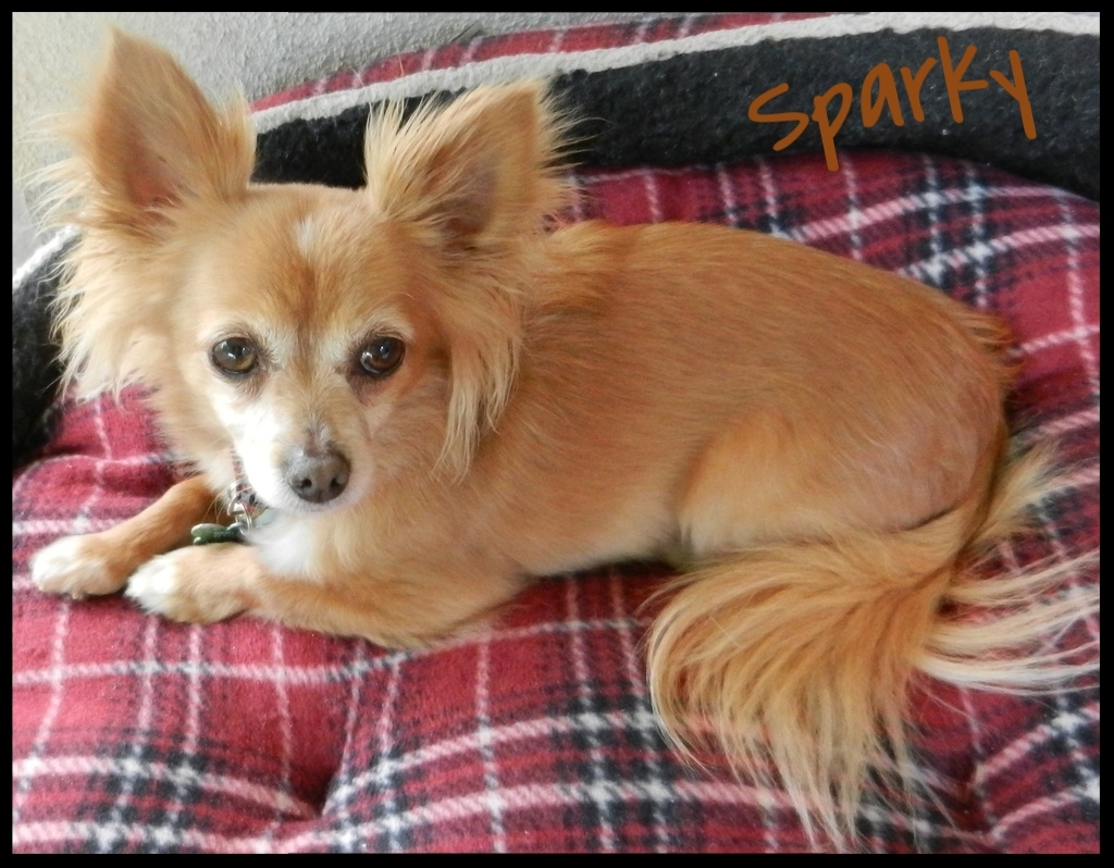 Sparky LH Chihuahua 2016