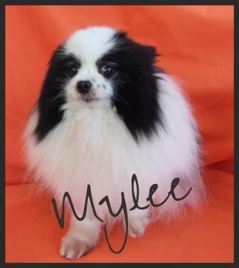 Mylee Rescue Pom OC CA
