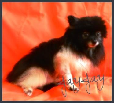 JayJay Parti-Pomeranian Rescue