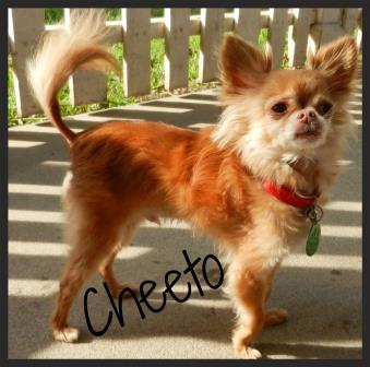 Cheeto OCPoundhounds Rescue Chihuahua