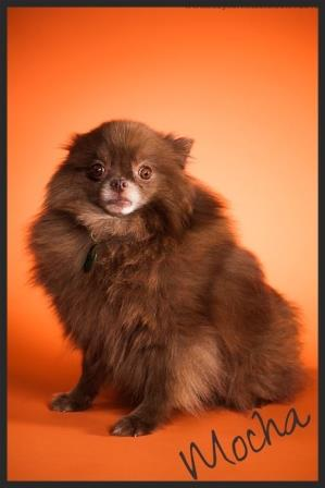 Mocha OCPoundhounds AKC Chocolate Pomeranian Rescue