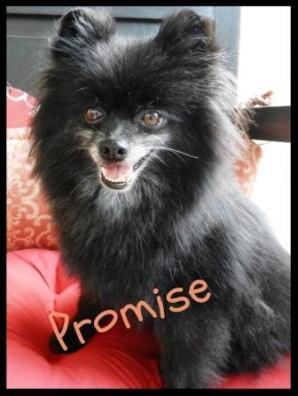 Promise AKC Black Pomeranian Rescue